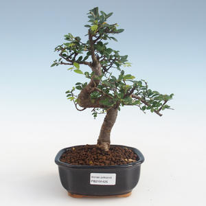 Kryty bonsai - Ulmus parvifolia - Wiąz mały liść PB2191426