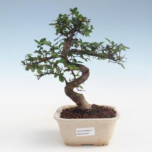 Kryty bonsai - Ulmus parvifolia - Wiąz mały liść PB2191427