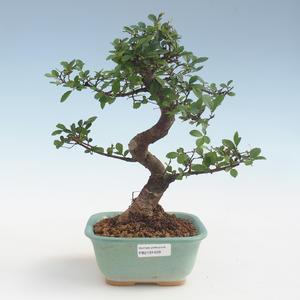 Kryty bonsai - Ulmus parvifolia - Wiąz mały liść PB2191429