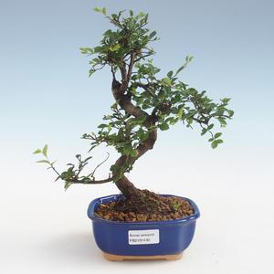 Kryty bonsai - Ulmus parvifolia - Wiąz mały liść PB2191430