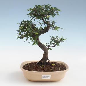 Kryty bonsai - Ulmus parvifolia - Wiąz liściasty 2191431
