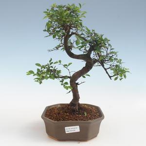 Kryty bonsai - Ulmus parvifolia - Wiąz liściasty 2191433