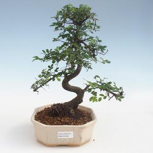 Kryty bonsai - Ulmus parvifolia - Wiąz liściasty 2191434