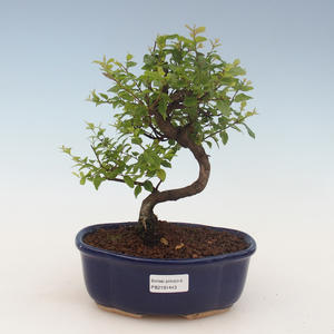 Kryty bonsai - Sagerécie thea - Sagerécie thea 2191443