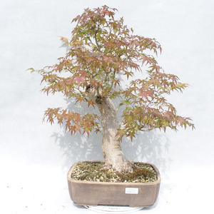 Kryty bonsai - Ligustrum chinensis - Privet 2191454