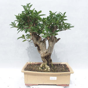 Pokój -Ligustrum bonsai chinensis - ligustr 2191455