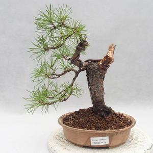 Kryty bonsai - Sagerécie thea - Sagerécie thea PB2191474