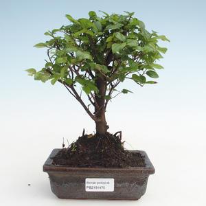 Kryty bonsai - Sagerécie thea - Sagerécie thea PB2191475