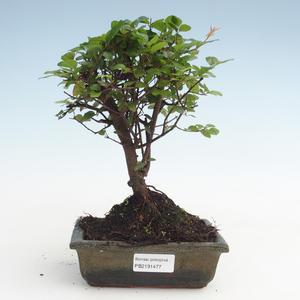 Kryty bonsai - Sagerécie thea - Sagerécie thea PB2191477
