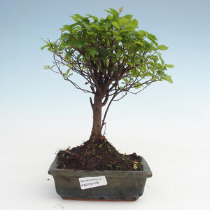 Kryty bonsai - Sagerécie thea - Sagerécie thea PB2191478