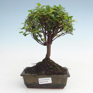 Kryty bonsai - Sagerécie thea - Sagerécie thea PB2191479