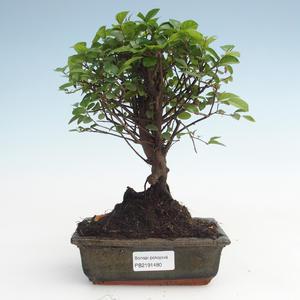Kryty bonsai - Sagerécie thea - Sagerécie thea PB2191480