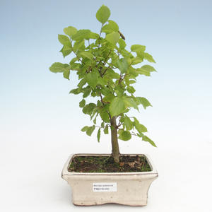 Kryty bonsai - Celtis chinensis - hackberry PB2191481