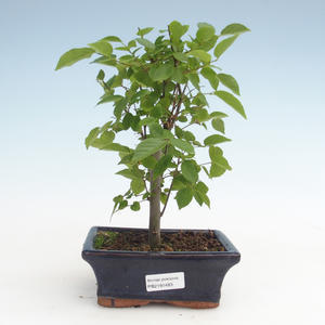 Kryty bonsai - Celtis chinensis - hackberry PB2191483