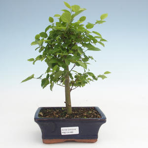 Kryty bonsai - Celtis chinensis - hackberry PB2191485