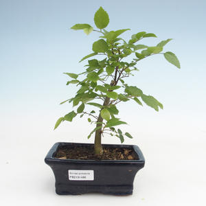 Kryty bonsai - Celtis chinensis - hackberry PB2191486