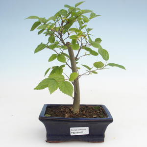 Kryty bonsai - Celtis chinensis - hackberry PB2191487