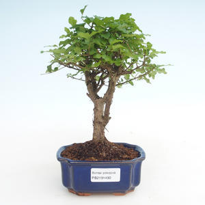 Kryty bonsai -Ligustrum chinensis - Privet PB2191490
