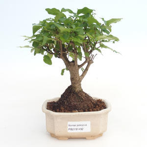 Kryty bonsai -Ligustrum chinensis - Privet PB2191492