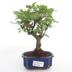 Kryty bonsai -Ligustrum chinensis - Privet PB2191494