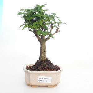 Kryty bonsai -Ligustrum chinensis - Privet PB2191495