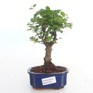 Kryty bonsai -Ligustrum chinensis - Privet PB2191497