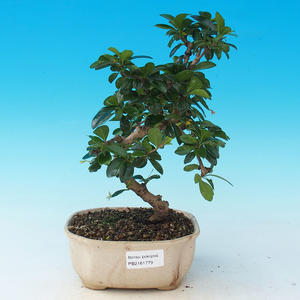 Pokój bonsai - Carmona macrophylla - Tea fuki