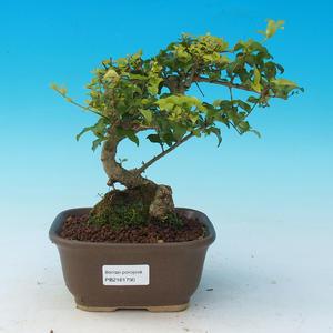 Pokój bonsai -Ligustrum chinensis - Ptasie oko