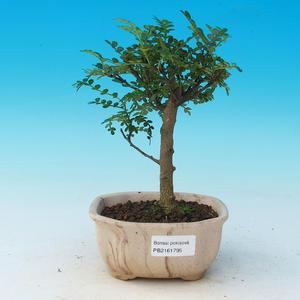 Room bonsai - Zantoxylum piperitum - pieprz