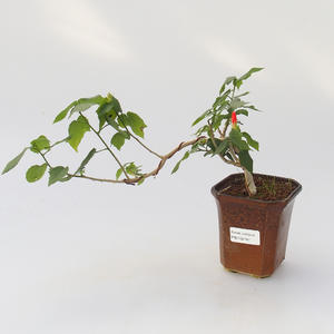 Room bonsai - Hibiscus - hibiskus o małych kwiatach