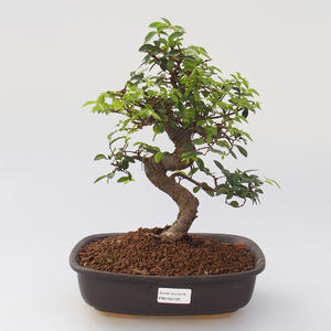 Pokój bonsai - Ulmus parvifolia - Lesser Elm