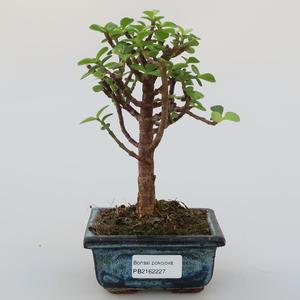 Pokój bonsai - Portulakaria Afra - Tlustice
