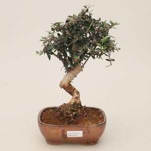Pokojowe bonsai - Olea europaea sylvestris - Oliwkowe europejskie pałeczki