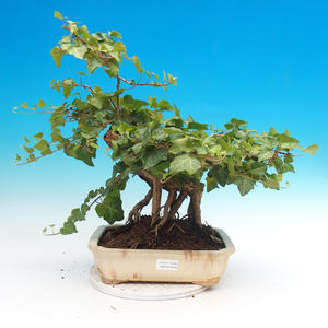 Outdoor bonsai- Hedera - Ivy
