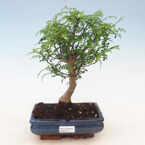 Outdoor bonsai - szynki