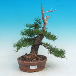 Outdoor bonsai -Lix decidua - Modrzew liściasty