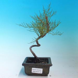Outdoor bonsai - Tamaris parviflora Small Tamarisk