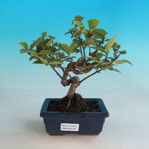 Outdoor bonsai-Ulmus Glabra-Solidny sztywny