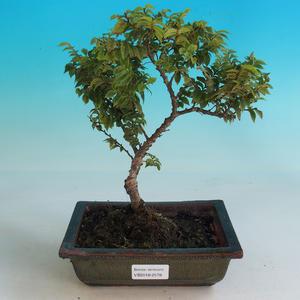 Outdoor bonsai-Ulmus Elegantissima Jack. Hillier-Jílm elegancki