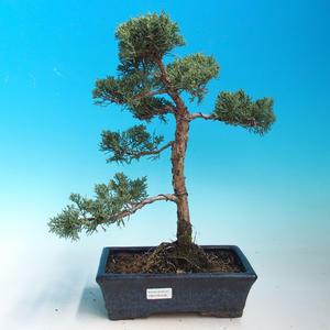 Outdoor bonsai-Juniperus chinenssis-chiński jałowiec