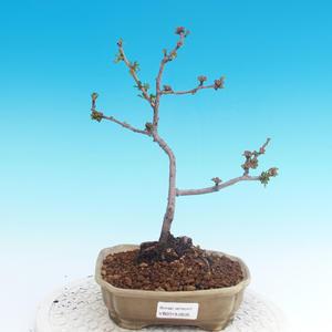 Outdoor bonsai - Chaneomeles japonica - Pigwa japońska