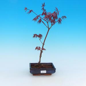Outdoor bonsai - Klon palmatum Trompenburg - klon czerwony dlanitolistý