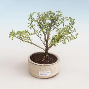 Kryty bonsai - Serissa foetida Variegata - Drzewo Tysiąca Gwiazd PB2191320