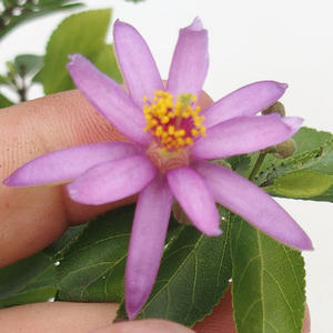 Kryty bonsai - Grewie - gwiazda lawendy 414-PB2191344