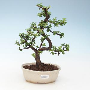 Kryty bonsai - Portulakaria Afra - Tlustice 414-PB2191348