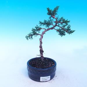 Outdoor bonsai Juniperus-chinenssis-jałowiec chiński