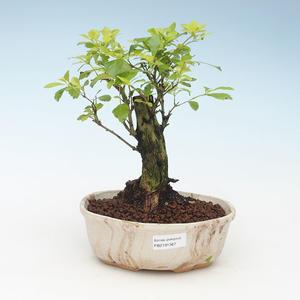 Kryty bonsai - Duranta erecta Aurea 414-PB2191367