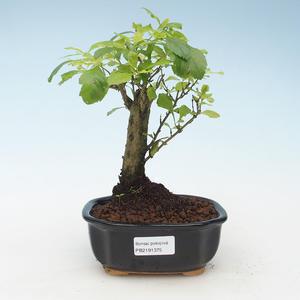 Kryty bonsai - Duranta erecta Aurea 414-PB2191375