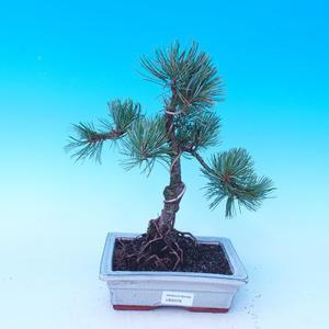Pinus parviflora - Pinus parviflora