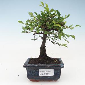 Kryty bonsai - Ulmus Parvifolia-wiąz mały liść 414-PB2191384